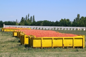 Pomodoro da industria, l'accordo non piace ai produttori