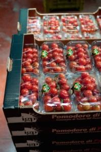 Pomodoro, individuata una nuova virosi a Ragusa