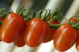 pomodoro-tomato-fonte-yara-italia-sito