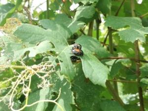 popillia-japonica-coleottero-foglie-vite-luglio-2017-fonte-barbara-righini