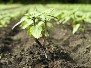 Azoto, fosforo e potassio in difesa integrata volontaria: come orientarsi?
