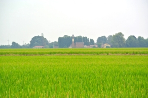 riso-risaia-lomellina-by-davide-delfrate-cassolnovo-pavia
