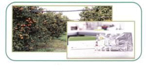 Agrumi, monitoraggio smart del Citrus tristeza virus