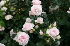 rose-vivai-pietro-favilla-progetto-rosa-microchip-unipi-290