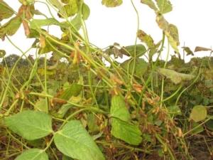 soia-rovigo-021015-ds