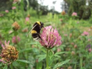 syngenta-consorzio-chianti-operation-pollinator-ape