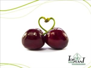 Vivai Top Plant, la rivoluzione della ciliegia