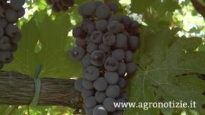 uva-vino-berlucchi-viticoltura-di-precisione-fonte-barbara-righini