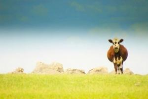 vacca-allevamento-zootecnia-agronotizie-riviste-agricoltura-byflickrcc20-eduardo-amorin_-bombeador_2011