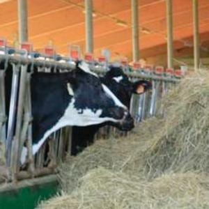vacca-da-latte-fonte-crpa