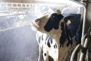 Metti le vacche al fresco