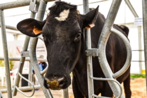 vacca-fiera-agricola-caserta-2016