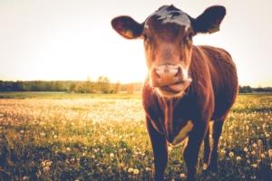 vacca-mucca-primo-piano-lingua-fotolia-750