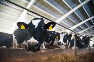 vacca-vacche-in-primo-piano-by-sgr-fotolia-750