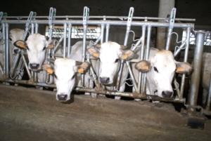 vacca-vacche-inalpi-piemontese-by-giovanni-de-luca-750