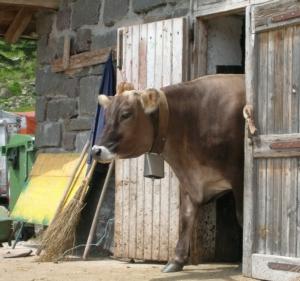 vaccabrunasullaportataglio-ag