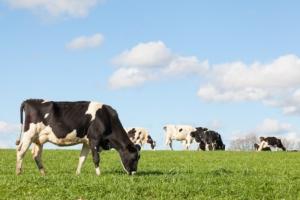 vacche-vacca-mucca-razza-holstein-by-gozzoli-fotolia-750
