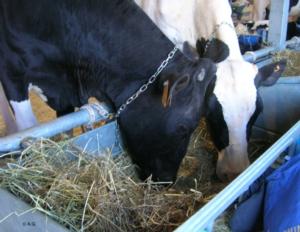 vacchemangiatoia-ag