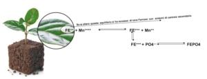 valagro-ferrilene-trium-reazione-tra-fe-e-mn-nella-pianta
