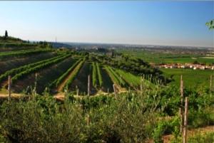 valpolicella-amarone-vigneto-vino-paesaggio-fonte-consorzio-tutela-vini-valpolicella