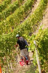 vendemmia-vite-uva-vitigno-pixelshop-fotolia-750x500
