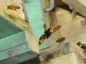 Vespa velutina, una nuova minaccia per le api italiane