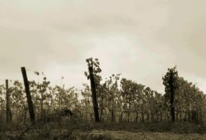 vigna-by-matteo-giusti-agronotizie