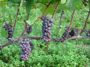 vite-grappoli-uva-da-vino-nero-byflickrndrwfgg-cc20