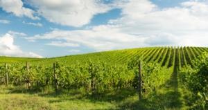 Viticoltura, parola d'ordine: sostenibilità
