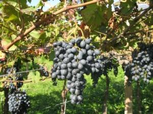 vite-vitigno-uva-varieta-eco-iasma-1-by-fondazione-edmund-machjpg