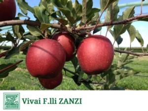 Devil Gala*, novità da Vivai F.lli Zanzi: non la solita mela estiva