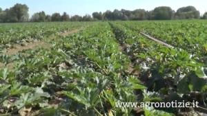 zucchino-syngenta-prove-in-campo-mediglia-milano-25sett15-fonte-barbara-righini-agronotizie
