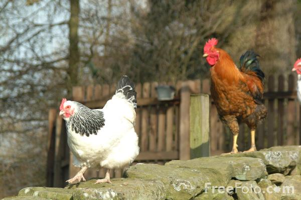 0chickens-polli-aviaria-freefoto