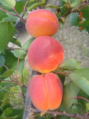 20080410AlbicoccoBigredtopplant
