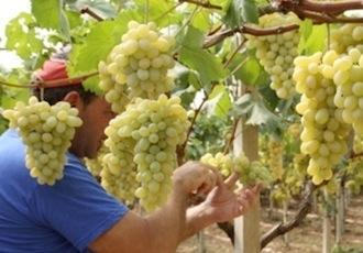 20110728-colapietra-uva-da-tavola-in-italia-01