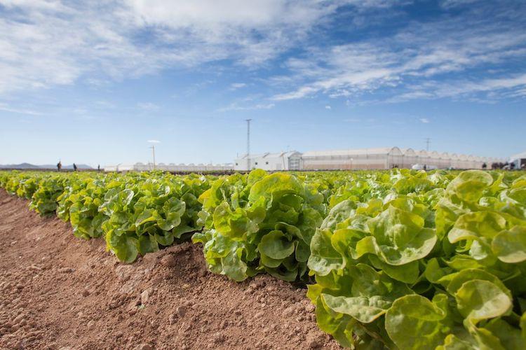 Denominazione di una nuova razza ufficiale di Bremia lactucae - Plantgest news sulle varietà di piante
