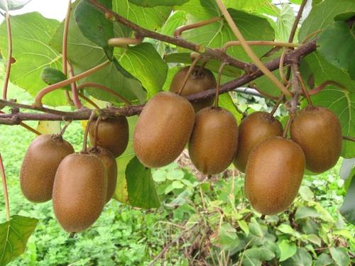 Sor li nuova variet di kiwi a polpa gialla agronotizie for Albero di kiwi