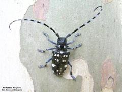 Anaplophora-adulto-platano