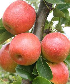 Apple_pear.jpg