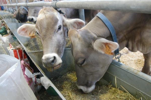 Bruna-d-oro-vacche-in-mostra-fieragricola-2008