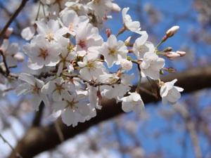 Cherry_Flower_DSC00020_l_300x225.jpg