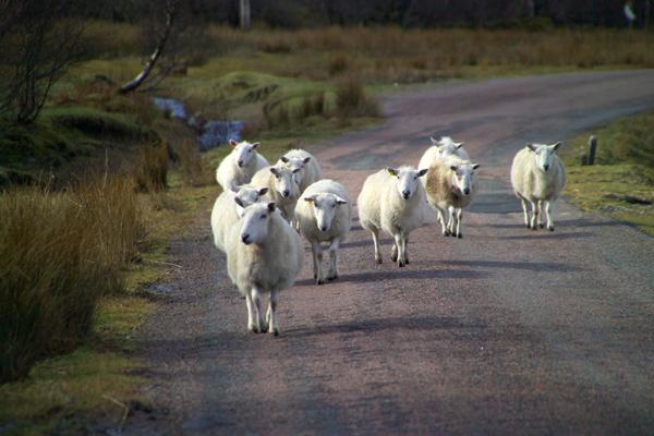 Pecore-gruppo