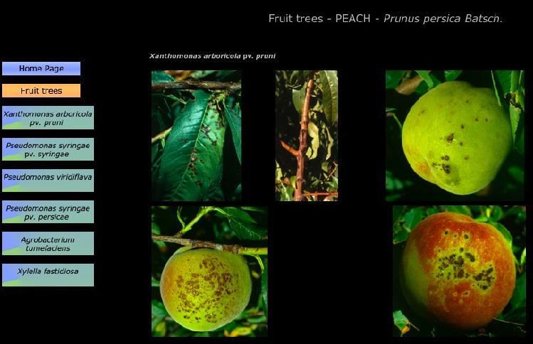 Pesco-Xanthomonas-arboricola-portale-scortichini