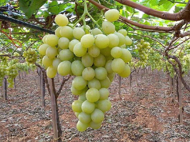L 39 uso dei fitoregolatori nell 39 uva da tavola agronotizie - Piante uva da tavola ...
