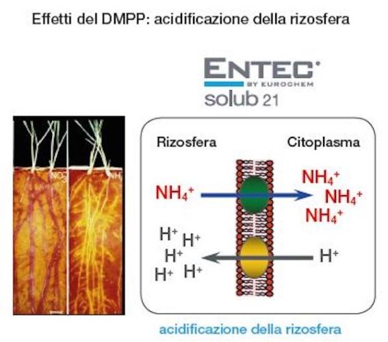 acidificazione-rizosfera-fonte-eurochem-agro