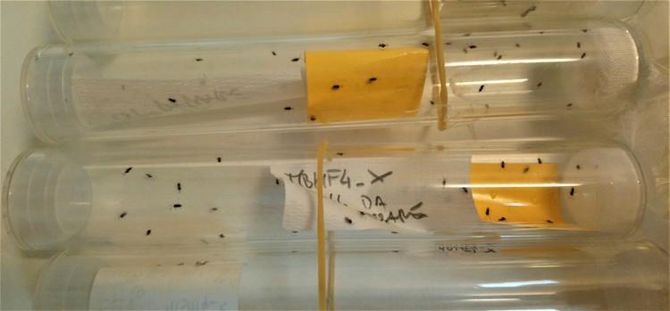 adulti-della-vespa-samurai-in-allevamento-in-tubi-di-vetro-ott-2019-fonte-crea-firenze.jpg