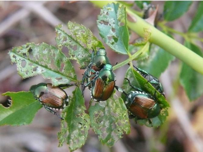 adulti-popillia-japonica-scarabeo-giapponese-by-lamba-wikipedia-jpg.jpg