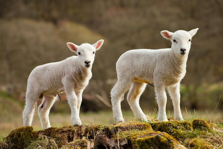 agnelli-agnello-pecore-by-joanna-tkaczuk-fotolia-750-1