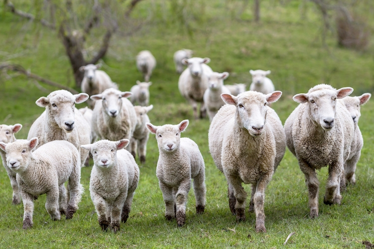 agnelli-pecore-ovini-by-heebyj-fotolia-750