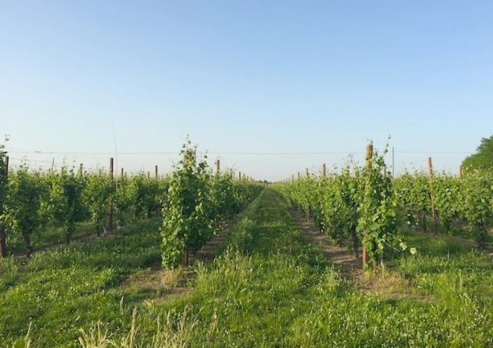 agricoltura-campi-vigneti-romagna-vitigni-mag-2015-by-cristiano-spadoni